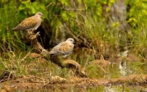Wildlife NGO calls for end to illegal turtle dove hunting